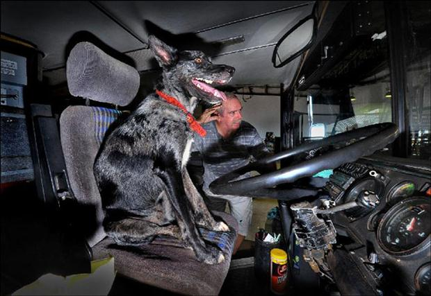 Two year old Dog drives double-decker bus